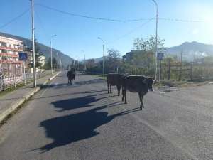 Kravy na ceste