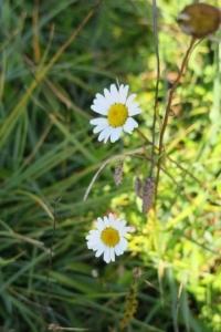 V národnom parku rastú aj sedmokrásky.